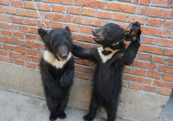 Bear cubs chained China circus