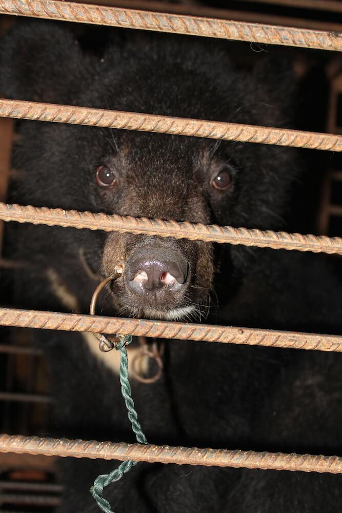 Bear snout pierced China circus