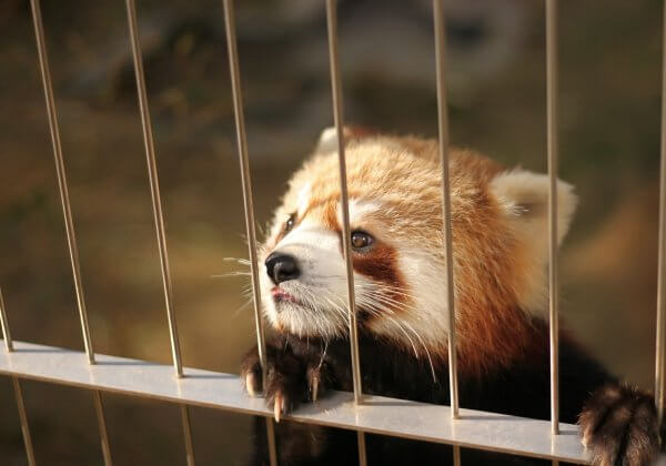 This Red Panda Broke Out of Jail Eight Months Ago—Now, He's Back in Prison After Being Shot