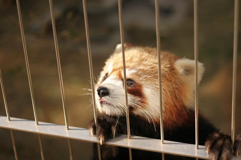 red-panda-368058_1280