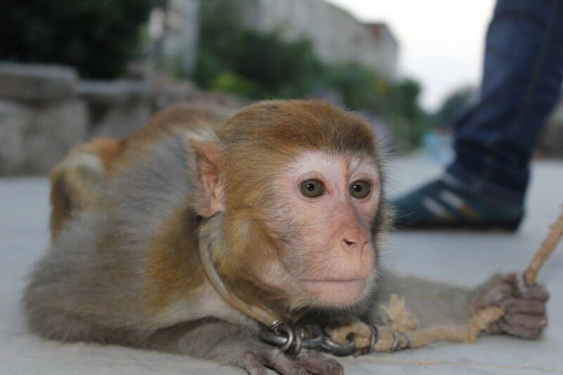 This monkey, named Xiaohua by the investigator, was dragged and yanked around by a rope around her neck.