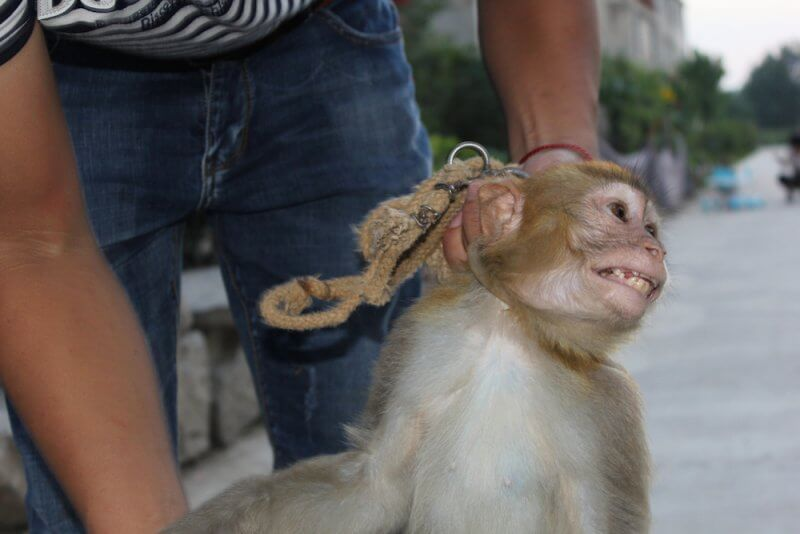 Monkey struggles to escape trainer in China circus