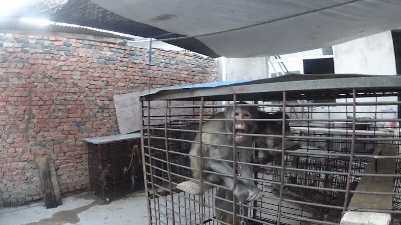 When not performing, monkeys in China's circuses are caged.