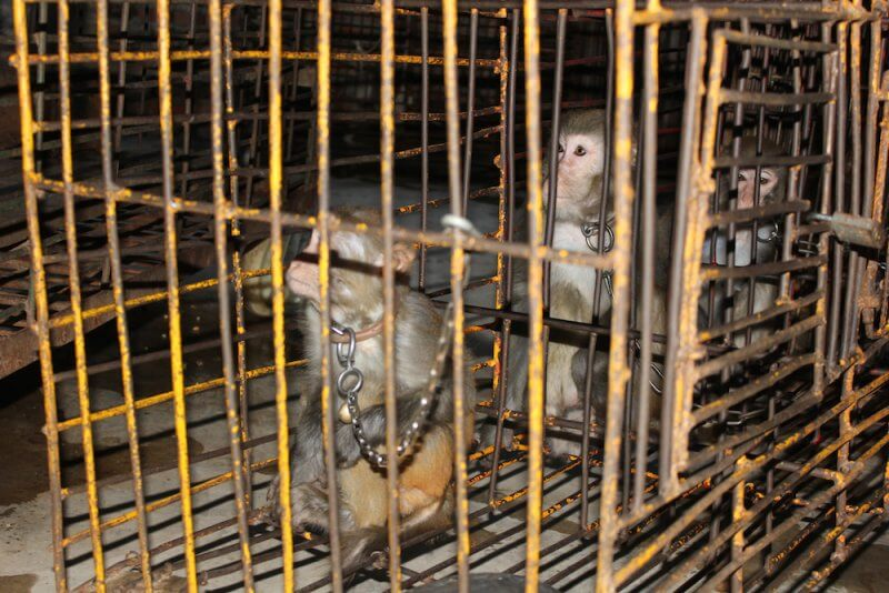 Monkeys were chained and caged when not performing in Chinese circus.
