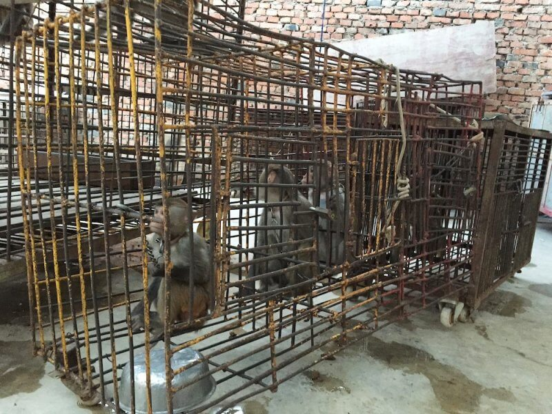 These monkeys were chained and caged when not performing in China's circuses.