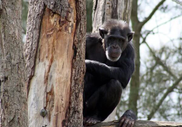 Cigarette-Smoking Chimpanzee in North Korea Proves Zoos Are Motivated by Profit