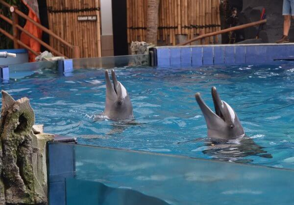 Take Action: Dolphins Tortured for Indonesia's Traveling Circuses