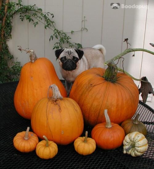 Halloween_Dog_PETA