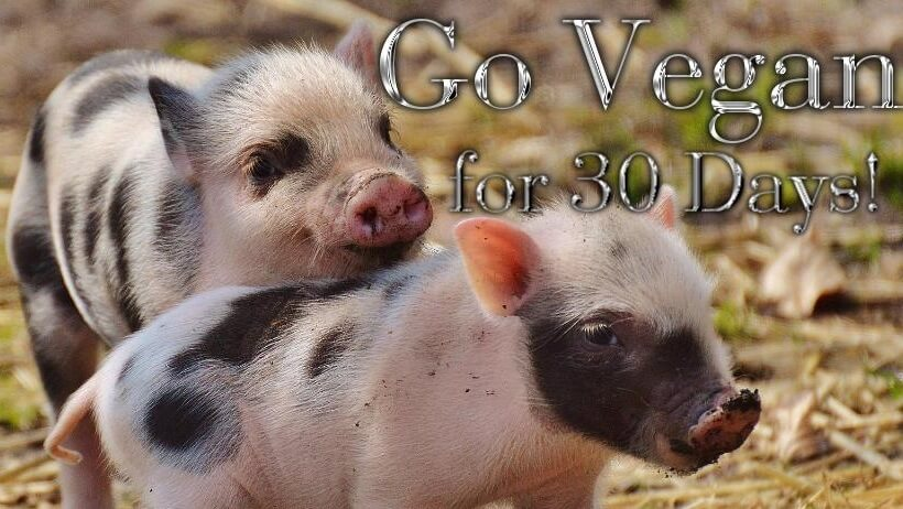 world_vegan_month_peta_pigs3.jpg
