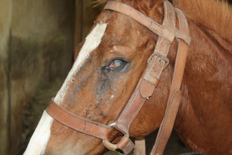 King Institute of Preventive Medicine & Research: Horse 48 at the King Institute is blind in the left eye.