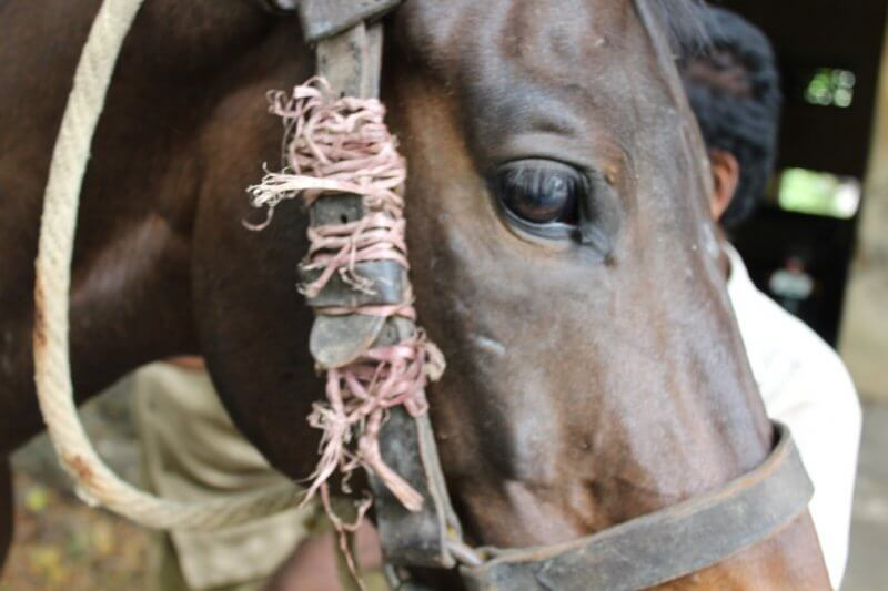 King Institute of Preventive Medicine & Research: At the King Institute, horses' head collars are damaged and jury-rigged with temporary repairs, which poses a danger to them.