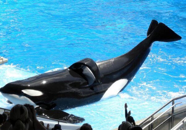R.I.P. Tilikum—Dead After Three Decades of Misery