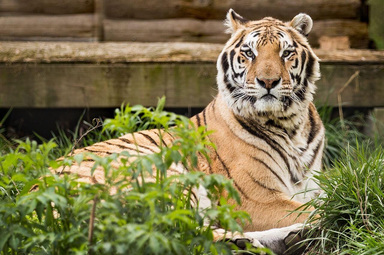 Tiger Shot Dead After Man Enters Enclosure at Zoo in China