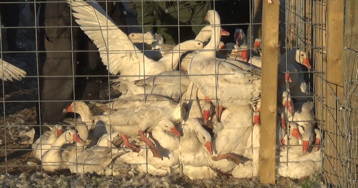 PETA U.S. Complaint Prompts Canada Goose to Change False, Misleading Marketing