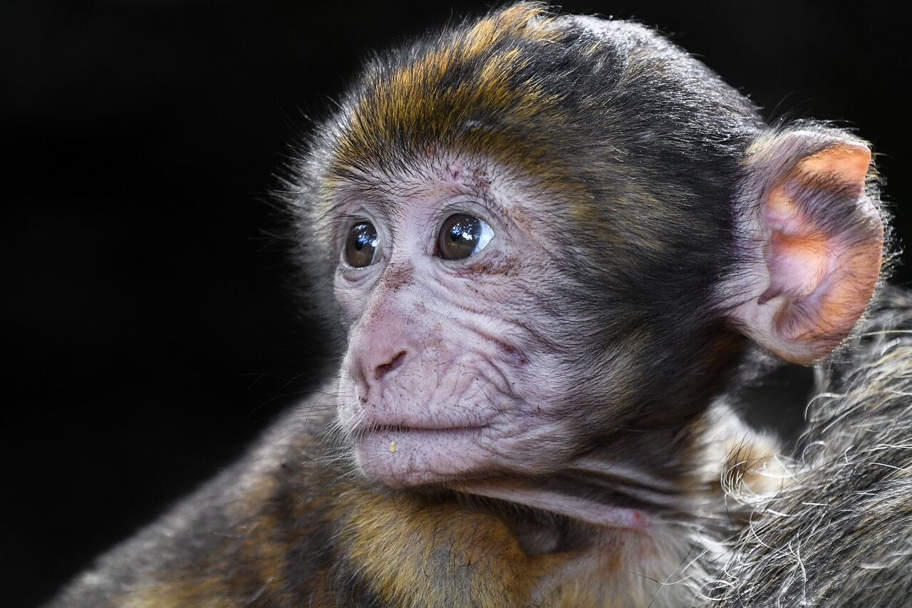PETA Condemns 'Frankenscience' Horror Show as Monkey Is Cloned for the First Time
