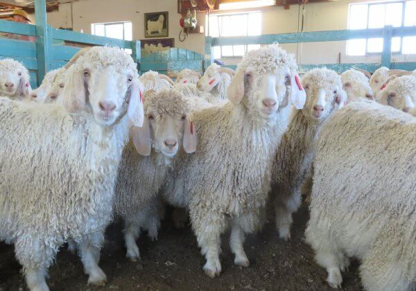 Over 340 Fashion Retailers Around the World Are Banning Mohair After Seeing PETA's Investigation