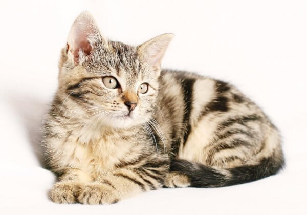 Take Action! Cats Being Killed for Fur Coats