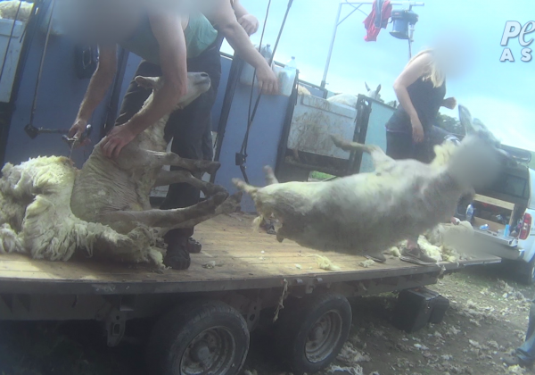 Sheep in the U.K. Beaten, Stomped on, Cut, and Killed for Their Wool