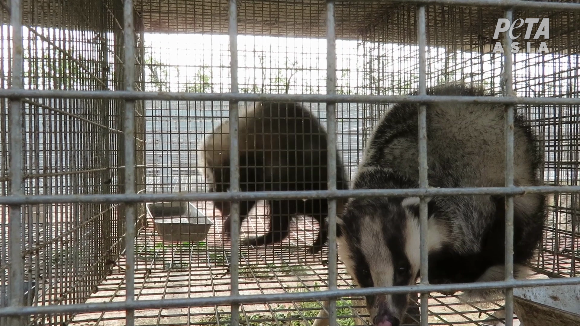 Badger cage 3