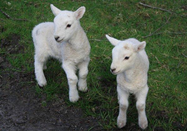Victory! New Zealand Bans Mulesing Mutilations of Sheep