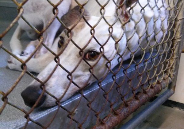 Sick, Injured, Greyhounds Imprisoned and Bled Repeatedly for Veterinary Clinics in Asia