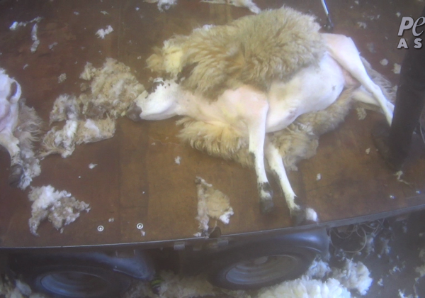 Sheep Beaten, Kicked, Cut, and Thrown Around in Scotland
