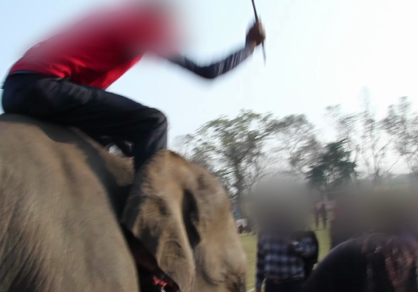 Elephants in Nepal Beaten With Bullhooks and Sticks for 'Games'