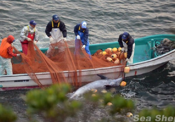 Help Protect Dolphins From Being Massacred in the Japanese Killing Cove