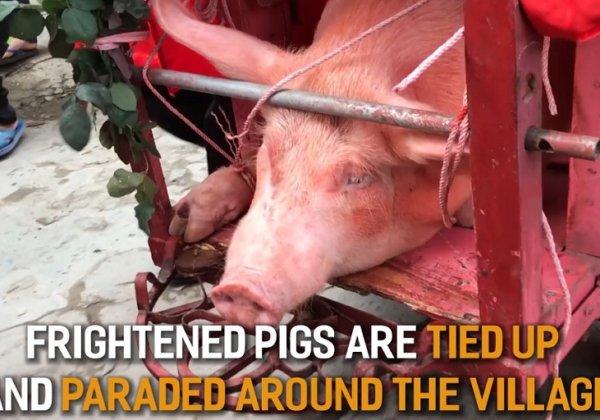 Help Stop Vietnam's Cruel Pig Slaughter Festival