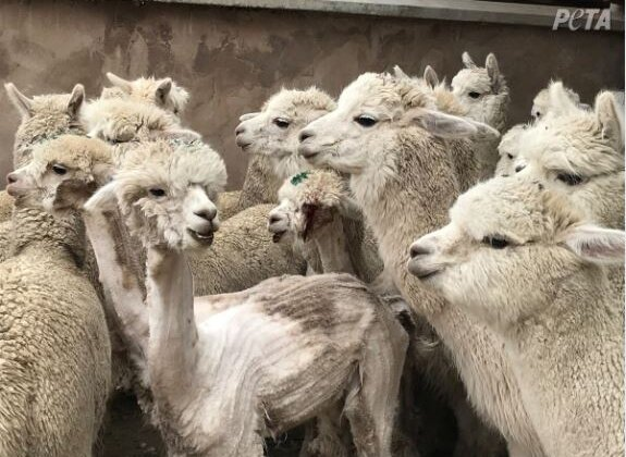 Valentino, UNIQLO and Other Companies Ban Alpaca Wool