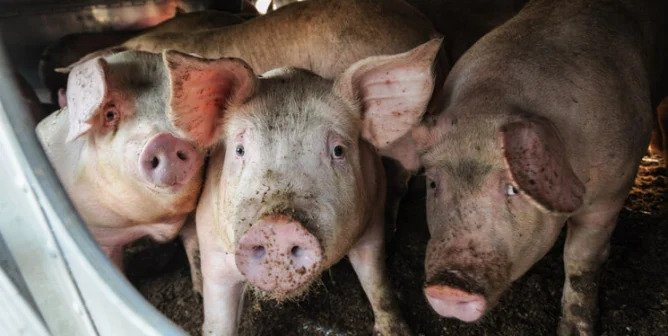 New Flu With Pandemic Potential Found in Pigs—Have We Learned Nothing?