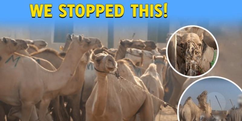 Victory! Animal Rides to Be Banned at Giza Pyramids After PETA Campaign