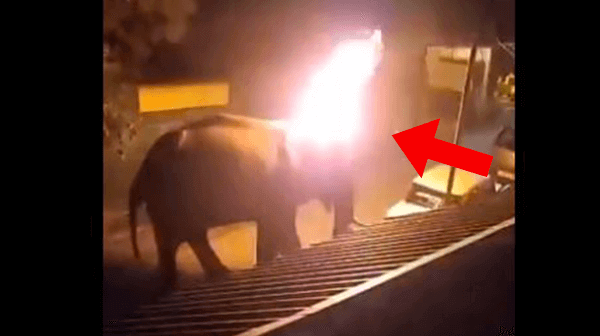 Men Caught on Camera Setting Elephant on Fire