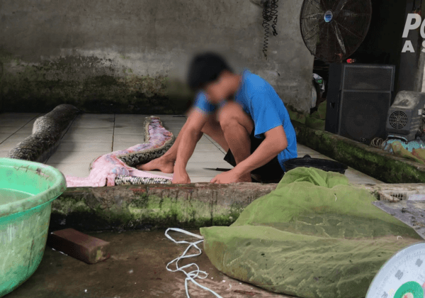 Exotic Skins Exposed: Snakes Inflated to Death, Crocodiles Stabbed