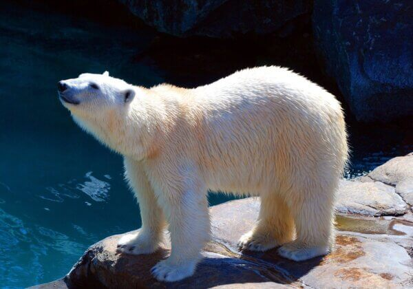 There's Nothing Entertaining About the Way This Hotel Keeps Polar Bears Captive