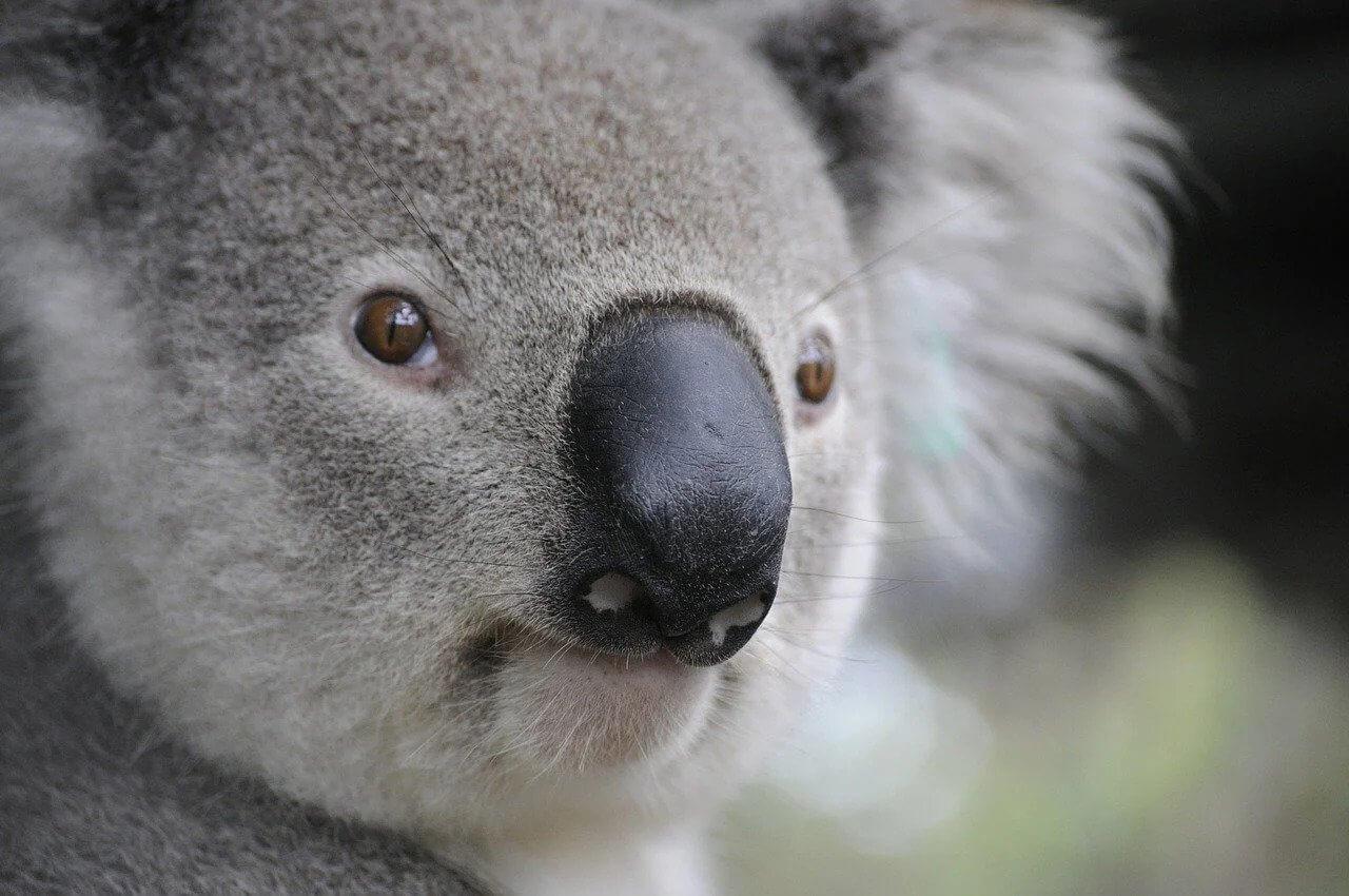 Why Eating Meat Is Killing Koalas