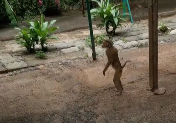 Monkeys Chained, Animals Kept Illegally at Thai Facility—Help Shut It Down!