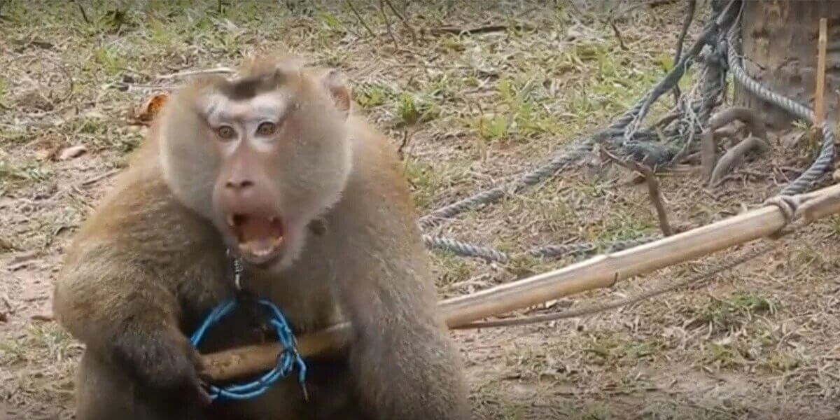 PETA Rescues Odd the Monkey From Thailand's Abusive Coconut Industry