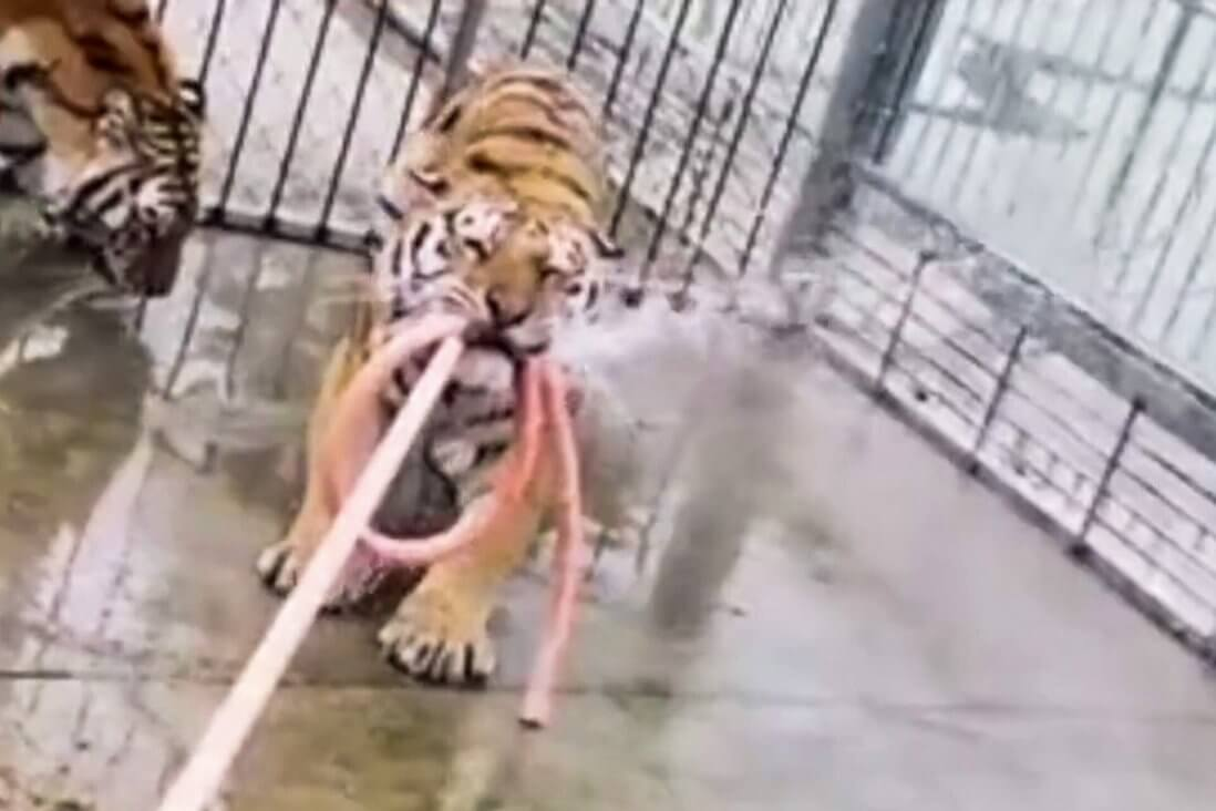 Tigers Shot Dead at Tourist Trap After Killing Keeper and Escaping From Cage