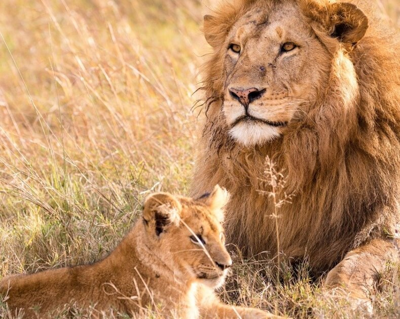 Progress! South Africa to Stop Breeding Lions for Hunting and Cub Petting