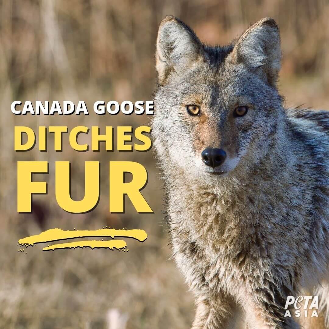 Victory! Canada Goose Ditches Fur After Massive PETA Campaign