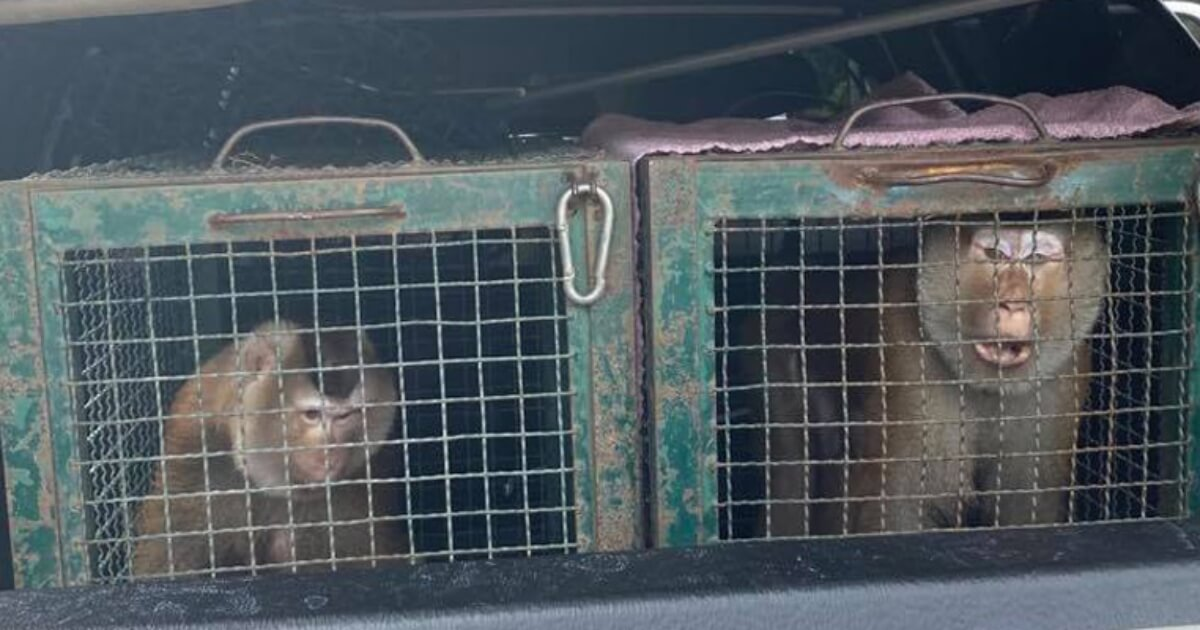 PETA Rescues More Monkeys From Thailand's Cruel Coconut Industry