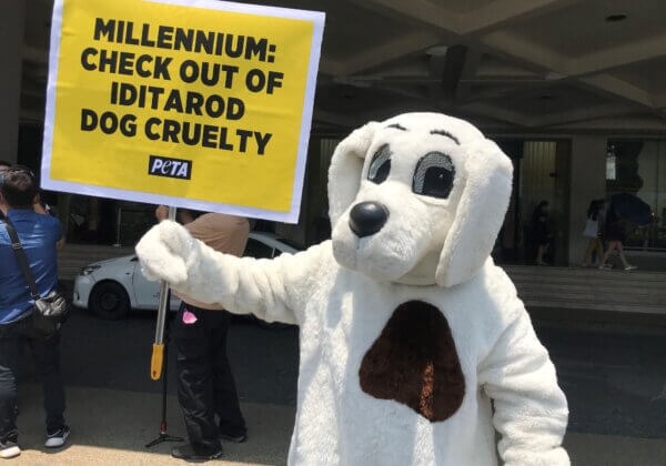 Over 150 Dogs Dead From the Iditarod—PETA 'Dog' Urges Millennium Hotels to Stop Sponsoring Cruelty!