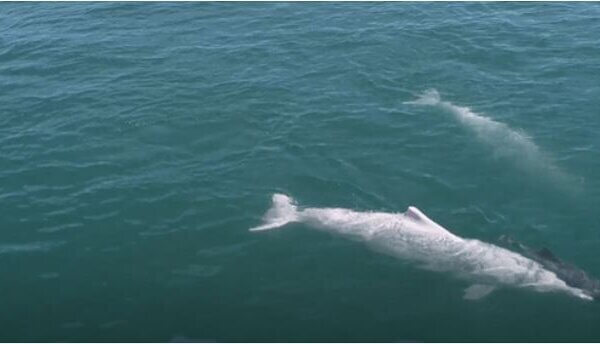 Mother Dolphin Carries Dead Calf, Refuses to Let Go in Heart-Rending Video