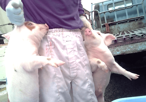 Piglets Slammed Into Concrete, Left to Die at Nippon Ham Farm in Japan