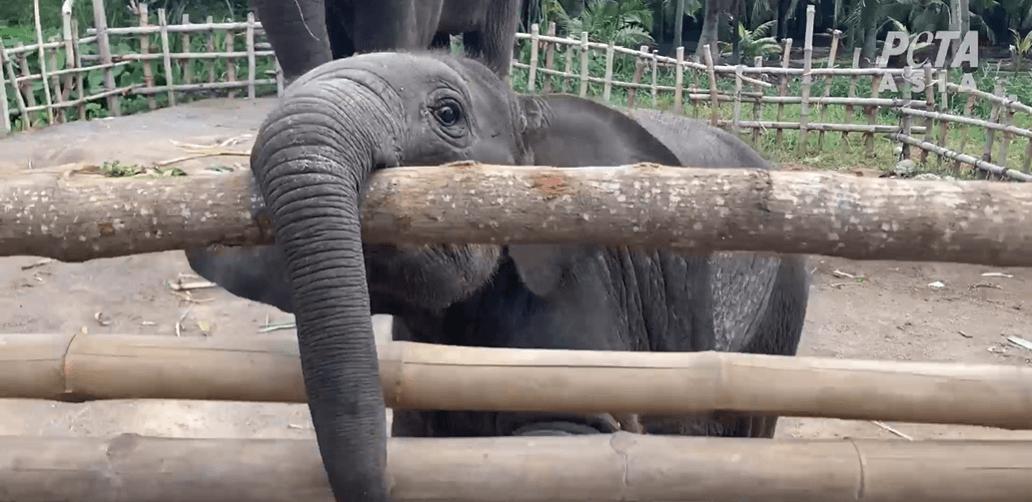 Post-COVID Travel Alert: Never Support Thailand's Cruel Elephant Camps