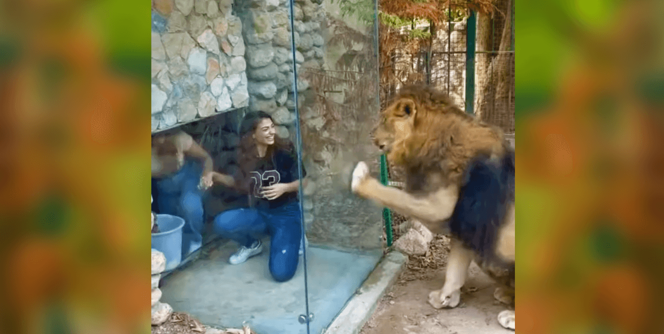 Patrons Mock Seemingly Agitated Lion in Lebanese Zoo Enclosure (Viral Video)